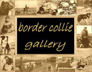 border-collie-gallery.jpg
