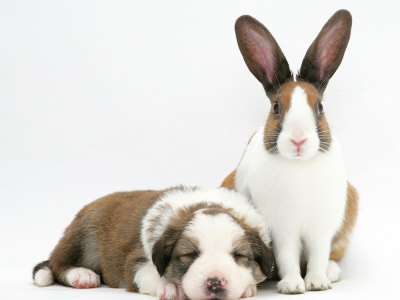 Border Collie Pup with Dutch Rabbit